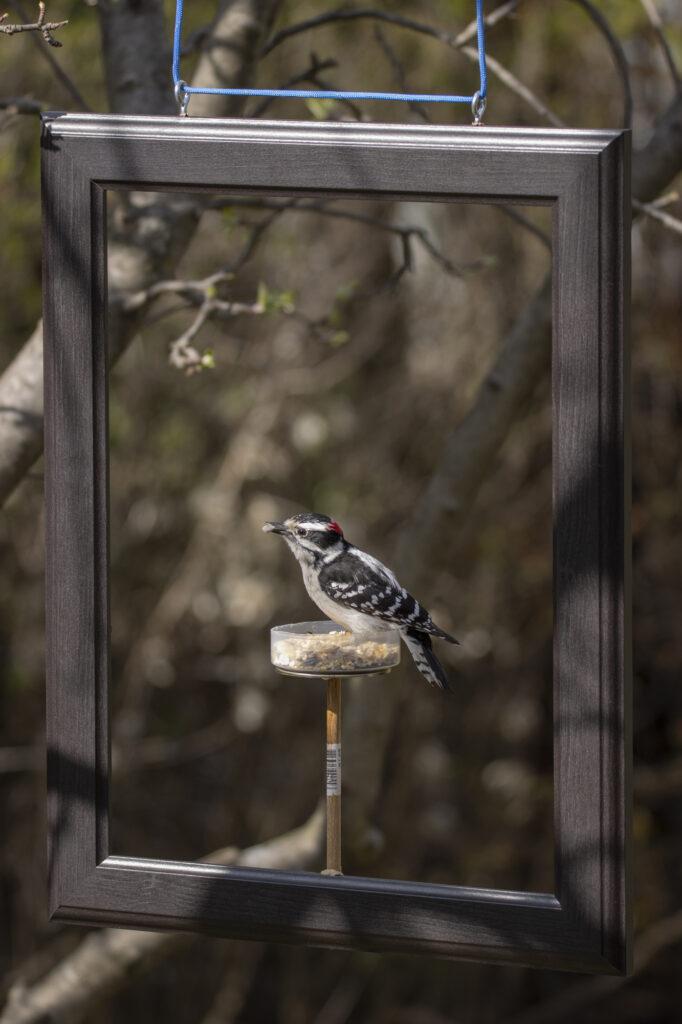 downy woodpecker in frame